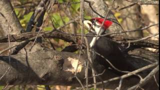 Download Pileated Woodpecker Call Video