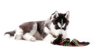 Download Teach Your Puppy to Leave Things Alone | Puppy Care Video