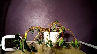 Download Timelapse: Plant resurrected by water! Video