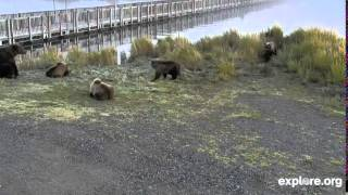 Download Holly and Cubs Meets Mom and 3 Cubs Video