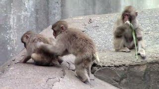 Download 遊ぶニホンザルの子供たち(多摩動物公園)Japanese Macaque Kids Video