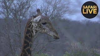 Download safariLIVE - Sunset Safari - October 16, 2018 Video