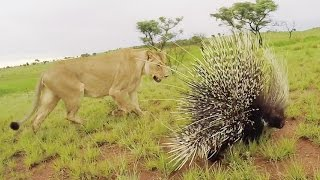 Download Meg & Amy meet a PORCUPINE | The Lion Whisperer Video