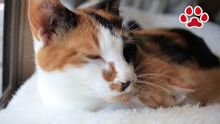 Download 三毛猫に一緒に寝る事が許された日。子猫まや【瀬戸のまや日記】 Kitten Maya was allowed to sleep with calico cat Video
