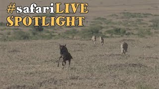 Download safariLIVE stalks the plains from a predatory perspective. Video