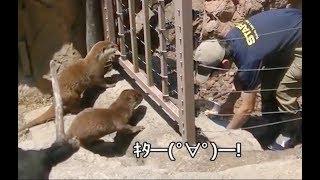 Download 飼育員さんがきたー! カワウソ大喜び! 上野動物園 Video