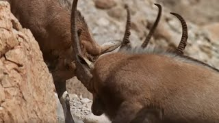 Download Best Animal Mating Fights | Top 5 | BBC Earth Video