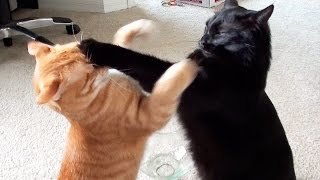 Download EPIC Cat Fight Compilation! Video