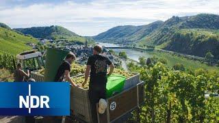 Download Weinanbau: Alltag einer jungen Winzer-Familie | 7 Tage | NDR Doku Video