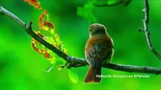 Download Нежная музыка для души и ЖИЗНИ,а Пение птиц Успокаивает нервную систему. Video