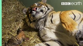 Download Birth of Twin Tiger Cubs | Tigers About The House | BBC Video