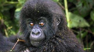 Download The Mountain Gorillas of Rwanda, Africa: Video Video