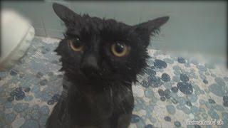 Download 黒子猫のクロ 入浴する Black kitten Kuro,take a bath【瀬戸の黒猫日記】 Video