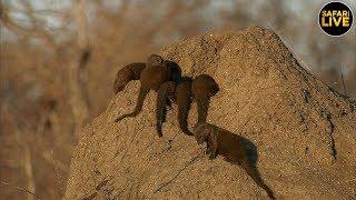Download safariLIVE - Sunset Safari - July 13, 2019 Video