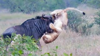 Download Wildebeest Hooks Lion by Leg as it Tries to Escape! Video