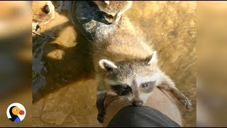 Download Baby Raccoons Follow Man, Make Him Their New Best Friend | The Dodo Video