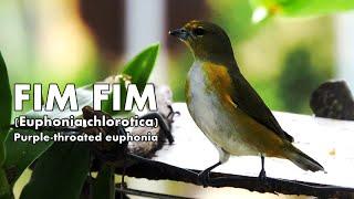 Download CANTO DO PÁSSARO FIM FIM FÊMEA (Euphonia chlorotica) Video