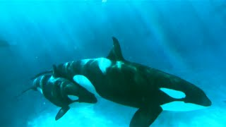 Download Orca Experts Go to SeaWorld Video