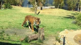 Download Sumatran Tigers Feeding Time Video