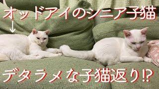 Download オッドアイのシニア子猫、デタラメな子猫返りを見せる The odd-eyed white cat turned a weird kitten Video
