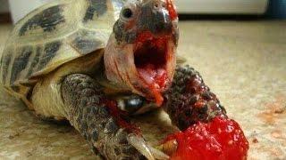 Download Crazyest Funny Turtles Video