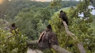 Download Decorah Eagles- 3 Eaglets And Some Excitement On The Y Branch Video