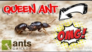 Download How to Catch A Queen Ant Video