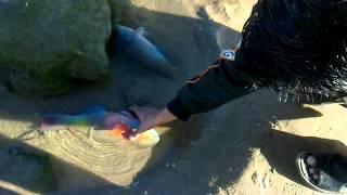 Download Colorful live Fish caught on Manora island karachi Pakistan.mp4 Video