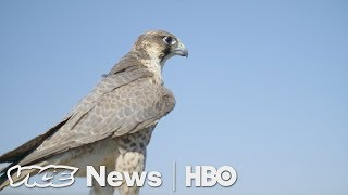 Download A Master Falconer Shows How His Bird Protects Valuable U.S. Crops (HBO) Video