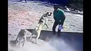Download Kangal Dog Attacks a Man!!! Video