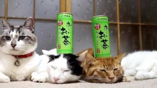 Download のせ猫 x おーいお茶2 170323 Video