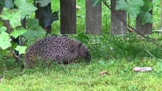 Download Igel im Garten (Tierfilm) Video