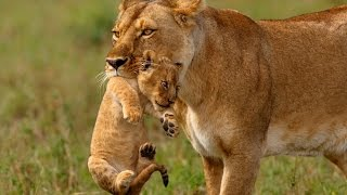 Download Lioness carry her cub to safety Video