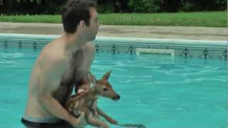 Download Baby Deer trapped in Pool Video