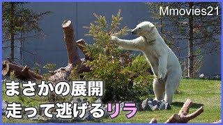 Download 調子に乗ってバチが当たる?!走って逃げるリラ Polar Bears Video
