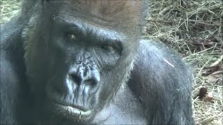 Download Gorillas show Human expressions and behaviors - by Kevin Hunter Video