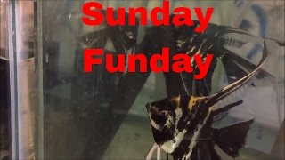 Download Sunday Funday Fish Room Update Angel Eggs, New Guppy Fry from Aquarium Co Op and a messy Fish Room Video