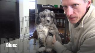 Download Mini AussieDoodle puppies at 7 weeks old Video