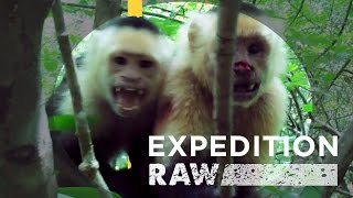 Download Capuchin Monkey Soap Opera in Costa Rica | Expedition Raw Video