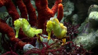Download Seahorse Mating Dance Video