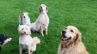 Download Callie, Maizey and The 3 Amigos whizzing. Video