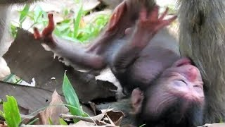 Download Break Heart Deeply, Just New Born Monkey Fall From The Tree Near Unconscious. Video