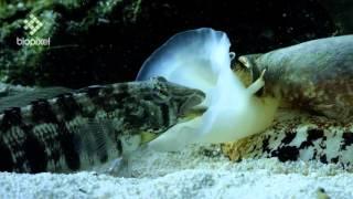 Download Geographus cone shell net feeding on sleeping fish Video