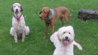 Download Goldendoodle Sofia, English Setter Otis & Vizsla Archie enjoying the rain. Video