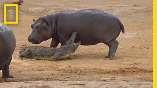 Download Young Hippo Tries to Play With Crocodile | National Geographic Video