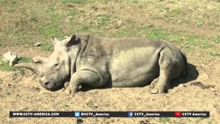 Download Northern white rhino died at San Diego Zoo Video