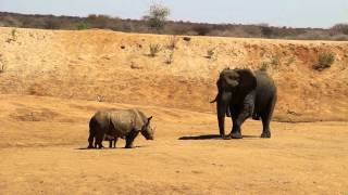 Download Rhino with calf faces off with an elephant Video