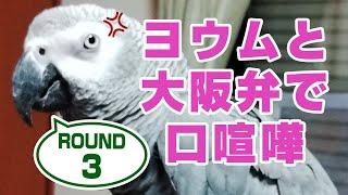 Download 大型インコ激怒のおしゃべり。ヨウムと大阪弁で口喧嘩#3鳥がしゃべる Video