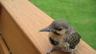 Download Pet Woodpecker Video