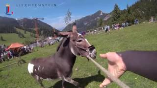 Download Eselfest in Malbun / Fürstentum Liechtenstein Video
